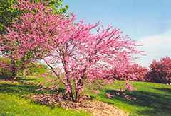 Northern Strain Redbud (Cercis canadensis 'Northern Strain') at Culver's Garden Center