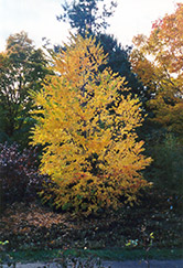 Katsura Tree (Cercidiphyllum japonicum) at Culver's Garden Center