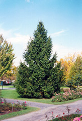 Norway Spruce (Picea abies) at Culver's Garden Center