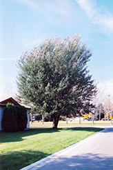 White Poplar (Populus alba) at Culver's Garden Center