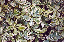 Silver Edge Japanese Spurge (Pachysandra terminalis 'Variegata') at Culver's Garden Center