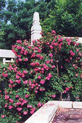 William Baffin Rose (Rosa 'William Baffin') at Culver's Garden Center