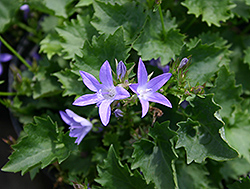 Blue Waterfall Serbian Bellflower (Campanula poscharskyana 'Blue Waterfall') at Culver's Garden Center