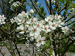 Jill Ornamental Pear (Pyrus calleryana 'Jilzam') at Culver's Garden Center