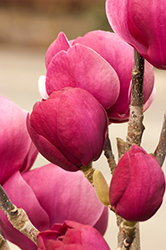 Black Tulip Magnolia (Magnolia 'Black Tulip') at Culver's Garden Center