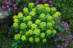 Cushion Spurge (Euphorbia polychroma) at Culver's Garden Center
