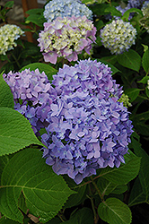 Endless Summer® Hydrangea (Hydrangea macrophylla 'Endless Summer') at Culver's Garden Center