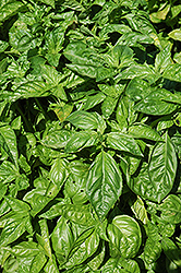 Sweet Basil (Ocimum basilicum) at Culver's Garden Center