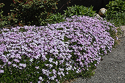 Emerald Blue Moss Phlox (Phlox subulata 'Emerald Blue') at Culver's Garden Center