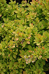 Sunsation Japanese Barberry (Berberis thunbergii 'Sunsation') at Culver's Garden Center