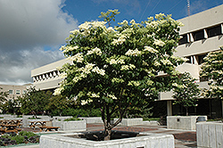 Ivory Silk Japanese Tree Lilac (Syringa reticulata 'Ivory Silk') at Culver's Garden Center