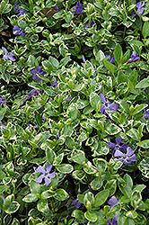 Ralph Shugert Periwinkle (Vinca minor 'Ralph Shugert') at Culver's Garden Center