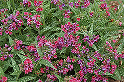 Raspberry Splash Lungwort (Pulmonaria 'Raspberry Splash') at Culver's Garden Center