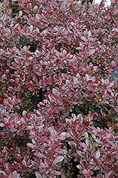 Cherry Bomb Japanese Barberry (Berberis thunbergii 'Monomb') at Culver's Garden Center