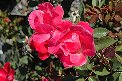 Pink Knock Out® Rose (Rosa 'Radcon') at Culver's Garden Center