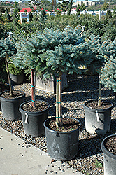 Globe Blue Spruce (tree form) (Picea pungens 'Globosa (tree form)') at Culver's Garden Center