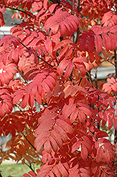 Pyramidal Mountain Ash (Sorbus aucuparia 'Fastigiata') at Culver's Garden Center