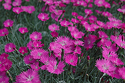 Firewitch Pinks (Dianthus gratianopolitanus 'Firewitch') at Culver's Garden Center