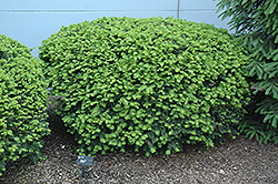 Densiformis Yew (Taxus x media 'Densiformis') at Culver's Garden Center