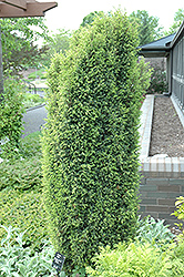 Gold Cone Juniper (Juniperus communis 'Gold Cone') at Culver's Garden Center