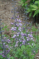 Purple Smoke False Indigo (Baptisia 'Purple Smoke') at Culver's Garden Center