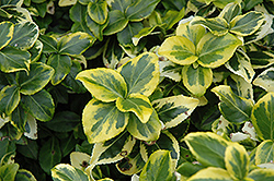Gold Prince Wintercreeper (Euonymus fortunei 'Gold Prince') at Culver's Garden Center
