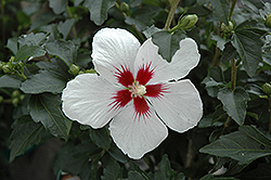 Lil' Kim® Rose of Sharon (Hibiscus syriacus 'Antong Two') at Culver's Garden Center
