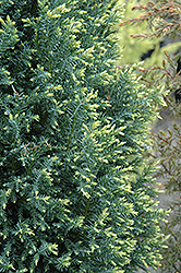 Snow White Falsecypress (Chamaecyparis lawsoniana 'Snow White') at Culver's Garden Center
