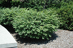 Fire Ball® Burning Bush (Euonymus alatus 'Select') at Culver's Garden Center