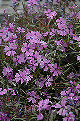 Purple Beauty Moss Phlox (Phlox subulata 'Purple Beauty') at Culver's Garden Center