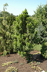 Peve Minaret Baldcypress (Taxodium distichum 'Peve Minaret') at Culver's Garden Center