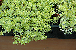 Fine Gold Leaf Stonecrop (Sedum 'Fine Gold Leaf') at Culver's Garden Center