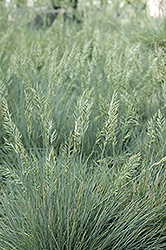 Elijah Blue Fescue (Festuca glauca 'Elijah Blue') at Culver's Garden Center