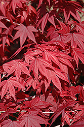 Emperor I Japanese Maple (Acer palmatum 'Wolff') at Culver's Garden Center