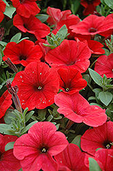 Potunia Plus Red Petunia (Petunia 'Potunia Plus Red') at Culver's Garden Center