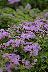 Artist Blue Flossflower (Ageratum 'Artist Blue') at Culver's Garden Center