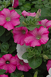 Supertunia® Raspberry Blast Petunia (Petunia 'Supertunia Raspberry Blast') at Culver's Garden Center