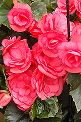 Dragone Dusty Rose Begonia (Begonia 'Dragone Dusty Rose') at Culver's Garden Center