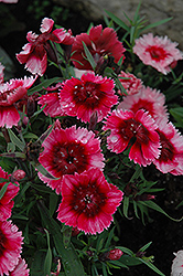 Super Parfait™ Raspberry Pinks (Dianthus 'Super Parfait Raspberry') at Culver's Garden Center