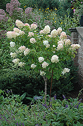 Limelight Hydrangea (tree form) (Hydrangea paniculata 'Limelight (tree form)') at Culver's Garden Center