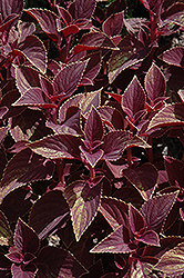 Vino Coleus (Solenostemon scutellarioides 'Vino') at Culver's Garden Center