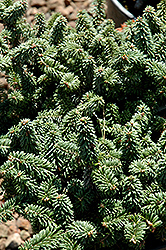 Piccolo Dwarf Balsam Fir (Abies balsamea 'Piccolo') at Culver's Garden Center