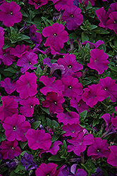Pretty Flora Purple Petunia (Petunia 'Pretty Flora Purple') at Culver's Garden Center