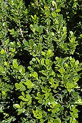 Baby Gem™ Boxwood (Buxus microphylla 'Gregem') at Culver's Garden Center
