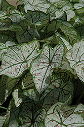 Candidum Jr. Caladium (Caladium 'Candidum Jr.') at Culver's Garden Center