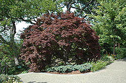Burgundy Lace Japanese Maple (Acer palmatum 'Burgundy Lace') at Culver's Garden Center