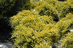 Sea Of Gold Juniper (Juniperus x media 'Sea Of Gold') at Culver's Garden Center