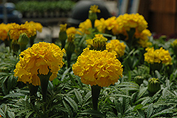 Safari Yellow Marigold (Tagetes patula 'Safari Yellow') at Culver's Garden Center