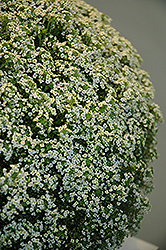 White Knight Alyssum (Lobularia maritima 'White Knight') at Culver's Garden Center