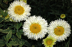 Real Galaxy Shasta Daisy (Leucanthemum x superbum 'Real Galaxy') at Culver's Garden Center